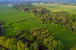 The Chedi Club Ubud - Rice fields