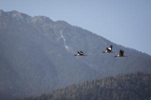 Amankora Gangtey - Valley Cranes