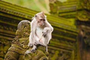 Bali - Monkey Ubud