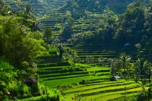 Bali - Paddy Fields