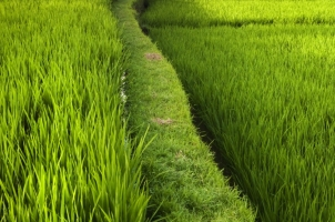 Bali - Ubud Rice Field