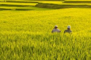 Bali - Rice Fields