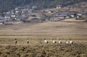 Bhutan - Gangtey Valley Cranes