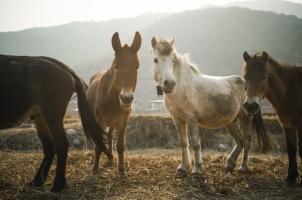 Bhutan - Punakha Horses