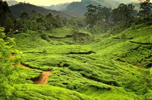 India - Tea plantations Kerala