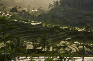 Indonesia - ricefields selegriyo