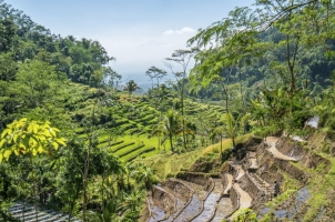 Indonesia - Selogriyo rice fields