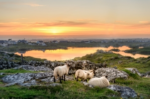 Ireland - Sunset at a lake with sheep near Clifden Roundstone