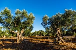 Italy - Olive Trees
