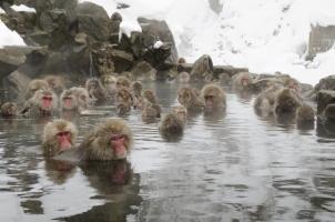 Japan - Japanese snow monkeys