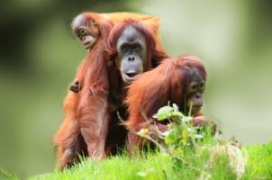 Malaysia - Orangutang Borneo