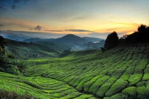 Malaysia - Tea plantation Cameron highlands
