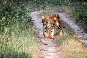 Nepal - bengal tiger on a road in the jungle in chitwan national park