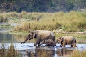 Nepal - Asian Elephant in Bardia National Park
