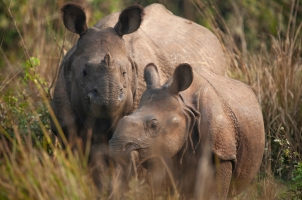 Nepal - mother and baby rhinoceros
