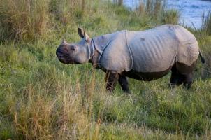 Nepal - rhino near river chitwan national park