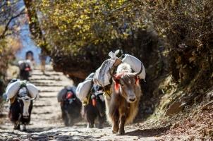 Nepal - yaks carrying weight