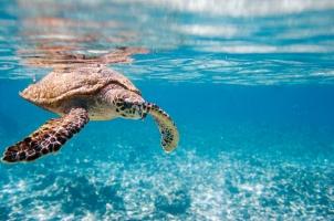 Seychelles - swimming turtle