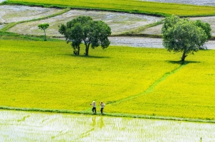 Vietnam - Rice field in An Giang province