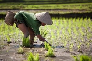 Vietnam - Vietnamese farmer