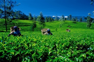 Sri Lanka - Tea Plantation