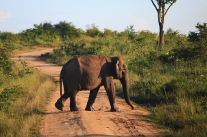 Sri Lanka - beautiful Elephant Crossing Udavalave National park