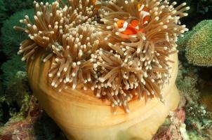 Amanwana -Clown Anemonefish
