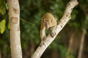 Amanwana - Monkey