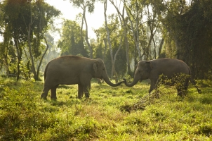 Anantara Golden Triangle - elephants in the natur