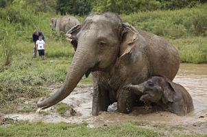 Anantara Golden Triangle - elephant with a baby